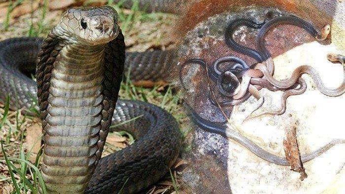 Perkembangbiakan Ular Kobra Yang Bisa Dipahami